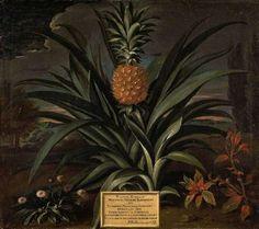 Faça um Potager Tropical: Como Cultivar Abacaxis