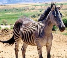 That would be so cool to have a zorse like this, black and white.  People would almost never believe it was half horse!  ;-)
