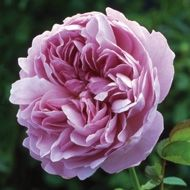Buy fragrant roses - Old Rose - David Austin Roses Charles Rennie Mackintosh Medium Shrub Strong Old Rose Excellent Repeat Bloom. Varies Lilac-Lilac Pink. Fragrance of Lilac, Almond, Light Old Rose. Warmer areas-Summer Pruning