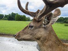 Deer close up - Longleat