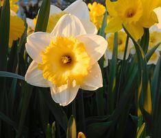 Cómo y cuándo plantar Narcisos - Mi Jardín