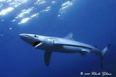 "#SharkOfTheDay: While blue sharks are only assessed as ""Near Threatened"", they often are caught as bycatch"