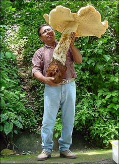 The 70cmtall (27in) edible plant, weighing 20kg (44lb), was found by scientists in a forest in southern Mexico.
