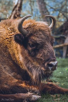 European bison by José Manuel Suárez / European Bison, Show Me Your Face, Big Photo, Weekend Fun, Fire And Ice, Portrait Shots, Terra, Continents, Animals Beautiful