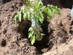 Томаты являются любимым овощем многих людей. Но для получения сочных и румяных плодов следует серьезно потрудиться, ведь помидор является достаточно требовательной культурой. Данный овощ нуждается ...