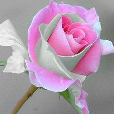 Rare Queen Bella Rose 20 seeds