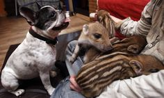 Baby (French Bulldog) watching over her adopted brood of wild boar piglets. Not sure who I love more!