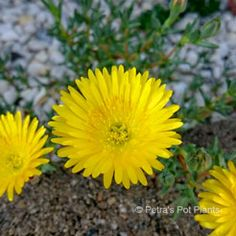 *PETRA,JORDAN~YELLOW PIGFACE Petra, Jordans, Yellow, Plants, Plant, Planets