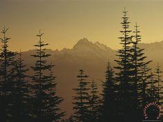 Raymond Gehman Tall Fir Trees Are Silhouetted Against a Snowy ...