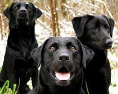 Gorgeous black Labs
