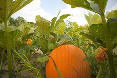 If you're planning to head out to the pumpkin patches for fall fun, or in search of pie pumpkins...