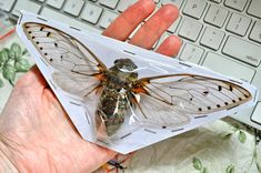 OVERSTOCK Largest Cicada in the World by InsectArt on Etsy, $12.00 Insect Art, Shadow Box, Insects, Jewelry Making, World, Etsy, Sign, Cabinet, Dark