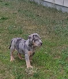 Join us @Outlaw Mafia Kennel's Merle Mafia on facebook American Bullies. Forsale