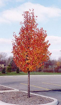 Cleveland Select Flowering Pear in fall color Flowering Pear Tree, Pear Trees, Timber Planks, Trees Online, Deciduous Trees, Garden Trees, Realistic Drawings, Garden Inspiration, Garden Landscaping