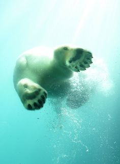 polar bears under water on Pinterest | Polar Bears, Underwater and ...