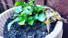 leanne's boy Horsefield scouting around in the planter! Funny Minion, Minions, Russian Tortoise Care, Horsefield Tortoise, Scouting, Planters, Community, Healthy, The Minions