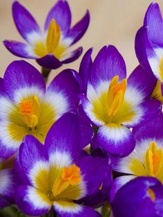 23397cfef7e1 Crocus Tricolor -- Bluestone Perennials Yellow Crocus