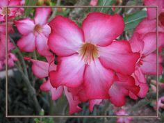 Tropical Red Desert Rose Notecard. Stunning Original Design is Printed on Gloss 5x7 Premium Card Stock.Blank Matt Interior For Your Message. by VintageArtForLiving on Etsy https://www.etsy.com/listing/531997362/tropical-red-desert-rose-notecard