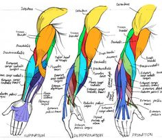 This comic art reference shows the muscl. This comic art reference shows the muscles in the human arm - Arm Muscle Anatomy, Arm Anatomy, Gross Anatomy, Anatomy Poses, Anatomy Study, Anatomy Art, Anatomy Reference, Art Reference, Human Anatomy For Artists