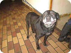Los Angeles, CA - Labrador Retriever. Meet PEPPER, a dog for adoption. http://www.adoptapet.com/pet/12253779-los-angeles-california-labrador-retriever