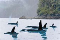 See Orcas in the wild. Mission accomplished in 2012 off the San Juan Islands off of Seattle. - Stop the Dolphin and Orca Slaughter NOW