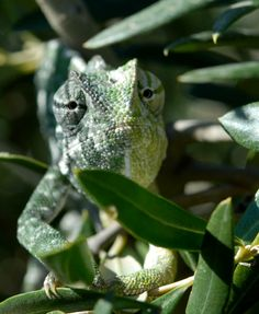 50/50 chameleon - outstanding how a creature can be so ingenious and we have them living wild around out site at Hidden Valley Glamping
