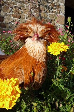 Golden Blooms and Plumage - Buff Laced Polish Rooster - Beautiful!