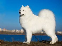 Samoyed 7000 most expensive