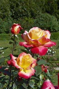 Double Delight hybrid tea rose. Source: green world #hybridtearosesdoubledelight