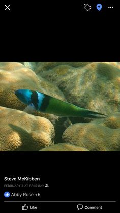 Blue head terminal Phase wrasse February 5, Under The Sea, Caribbean, Fish, Pets, Blue, Animals, Animals And Pets, Animales