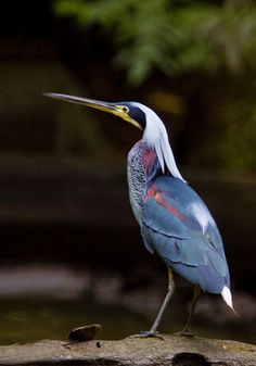Agami Heron    Nature PhotoWorks - South to Costa Rica