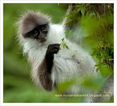 White thighed macaque/banded leaf monkey
