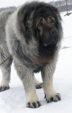 Caucasian Shepherd Dog, Caucasian Sheepdog Pictures, 3