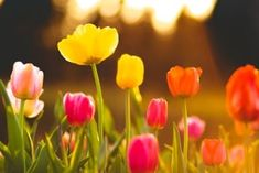 The two best methods for planting and growing Tulip bulbs in spring. It's easier than you think to get Tulips planted and growing in the Springtime! Daffodil Bulbs, Bulb Flowers, Tulips Flowers, Spring Flowers, Cactus Flower, Flower Beds, Purple Flowers, Planting Tulip Bulbs, Planting Flowers