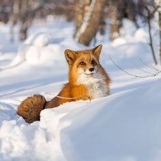 Fox Now, Earth Baby, Fox Spirit, Fox Pattern, Cute Fox, Red Fox, Pet Birds, Animals Beautiful, Animal Pictures