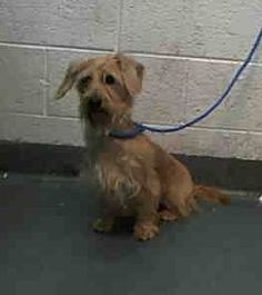 COCO (A1673986) I am a female cream and white Schnauzer - Miniature mix. The shelter staff think I am about 2 years old. I was found as a stray and I may be available for adoption on 01/25/2015. — Miami Dade County Animal Services. https://www.facebook.com/urgentdogsofmiami/photos/pb.191859757515102.-2207520000.1422056999./913399352027802/?type=3&theater