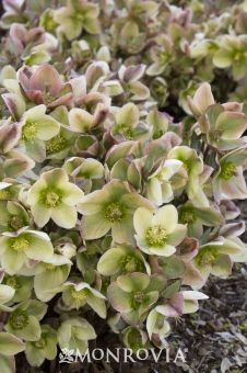 10 best perennials images on pinterest in 2018 garden plants ivory prince lenten rose virtually problem free ivory prince has deep pink buds that mightylinksfo
