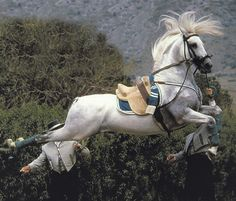 Spanish horse - Lippizaner stallion, doing a Capriole, where the horse leaps high in the air and kicks the back legs straight behind him at the top of the leap. Most Beautiful Horses, All The Pretty Horses, Animals Beautiful, Lippizaner, Lipizzan, Andalusian Horse, Majestic Horse, Horse Photos, White Horses