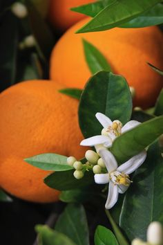 Orange trees can have flowers and fruit at the same time.