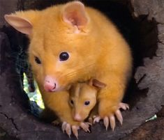 Australian Veterinary Clinic Rescues A Rare Golden Possum, People Say They Just Caught A Pikachu Cute Wild Animals, Nocturnal Animals, Rare Animals, Cute Funny Animals, Animals Beautiful, Animals And Pets, Mercy For Animals, Cutest Animals, Baby Elephant Images