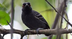 Black-tailed Antbird - Introduction | Neotropical Birds Online