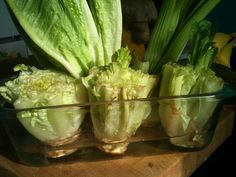 Re-grow Romaine Lettuce Hearts - just cut, place in water, and watch them grow back in days.
