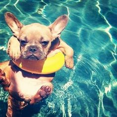 French bulldog swimming...just so everyone knows...my birthday is in November!