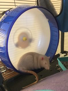 Latte isnt much for exercise but at least he is using the wheel for something #aww #cute #rat #cuterats #ratsofpinterest #cuddle #fluffy #animals #pets #bestfriend #ittssofluffy #boopthesnoot