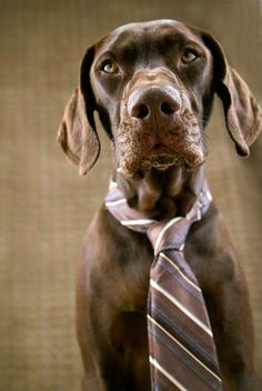 Dapper looking GSP  Photo by christineedawards via Flickr