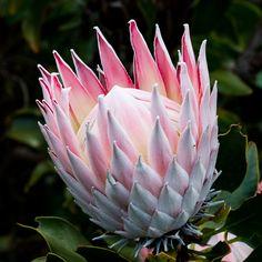 King protea by Nicky Jooste on Protea Art, Protea Flower, Exotic Flowers, Fresh Flowers, King Protea, Decoupage Paper, Flower Photos, Bird Art, Amazing Nature