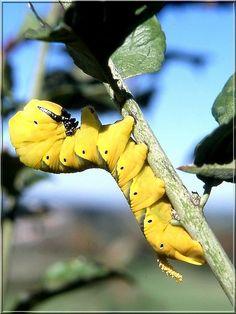 Papillon Acherontia atropos (Le Sphinx à tête de mort)