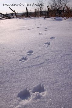 Fox Tracks in the snow...
