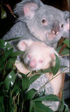18 Amazing Albino Animals Koala
