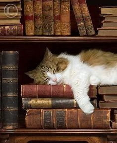 cat nap My 2 favorite things, books and kitties Funny Cats, Funny Animals, Cute Animals, Wild Animals, Cute Kittens, Cats And Kittens, Ragdoll Kittens, Bengal Cats, Crazy Cat Lady